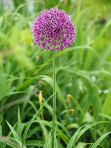 Purple Allium © CKarchner 2019